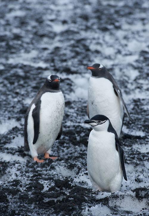Photo of Gentoo Penguins & lone Chinstrap Penguin in Antarctica by Michael Leggero.