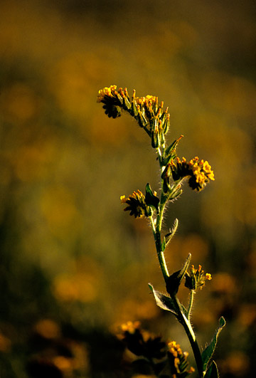 Sidelight photo of Fiddleneck weed by Noella Ballenger