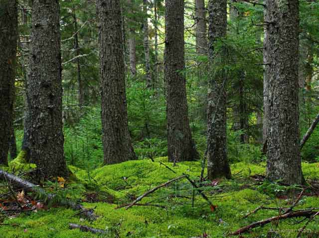 Photo guide to Acadia National Park: beautiful lush, green forest floor and pine trees by Juergen Roth.