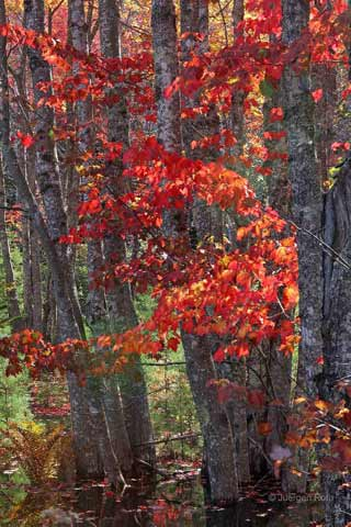 Photo guide to Acadia National Park: Close-up of Maine fall foliage on Black Birch tree by Juergen Roth.