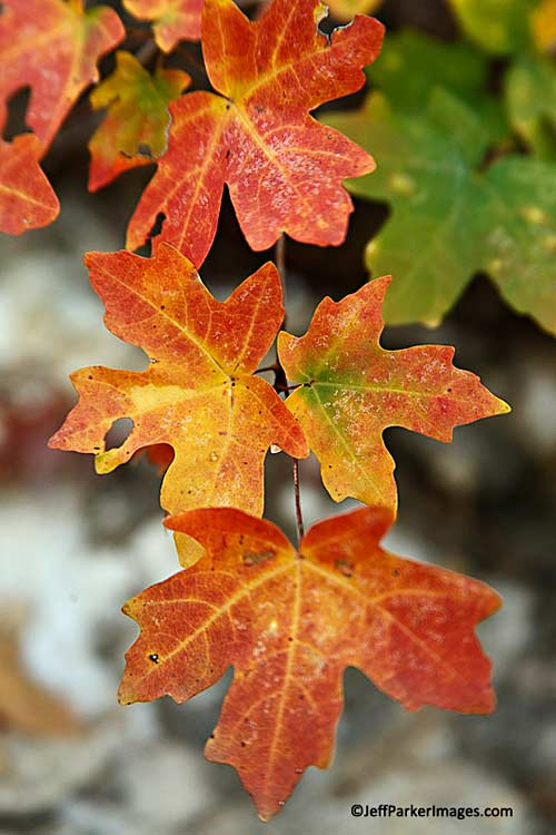 Close-up of fall leaves with red, orange and yellow coloring by Jeff Parker.