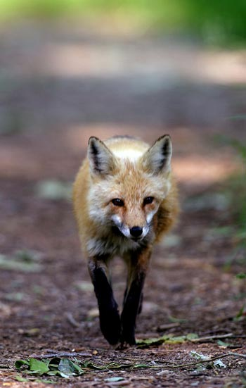 Photo of Red Fox by Andy Long