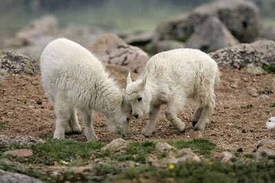 Photo of Mountain Goat kids by Andy Long