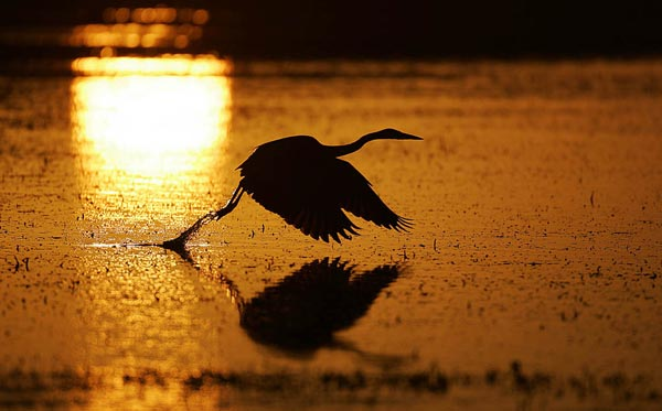 Photo of heron at sunrise by Andy Long