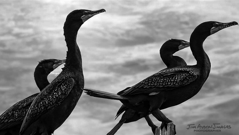 Cormorants-Nikon-200-500-Jimagesdotcom
