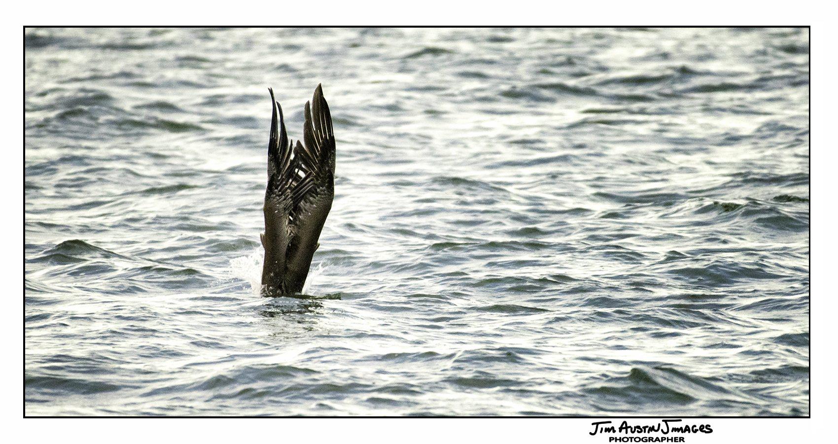 Fishing Pelican Jim Austin Jimages